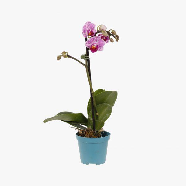 mini_phalaenopsis_pt6_003