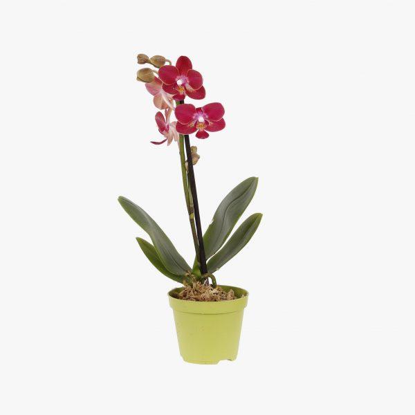 mini_phalaenopsis_pt6_005