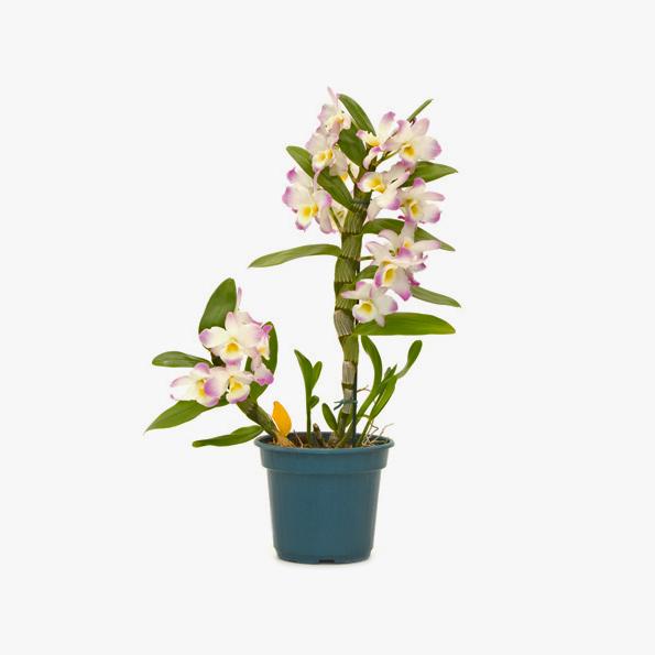 orquidea_dendrobium_002