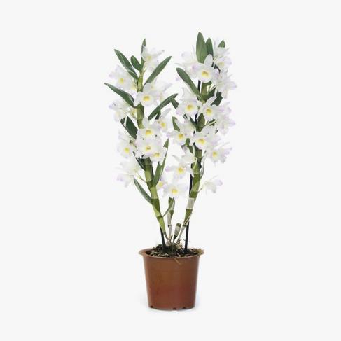 orquidea_dendrobium_003