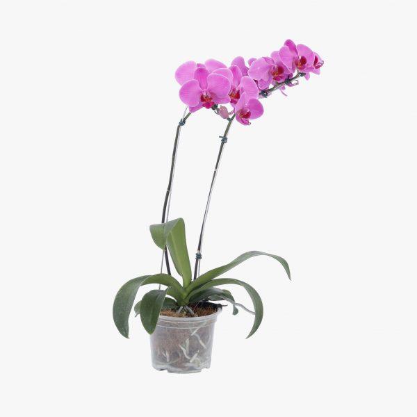 orquidea_phalaenopsis_2_hastes_p12_01