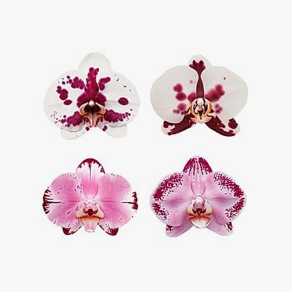 phalaenopsis_cores_001