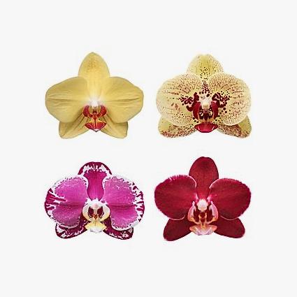 phalaenopsis_cores_003