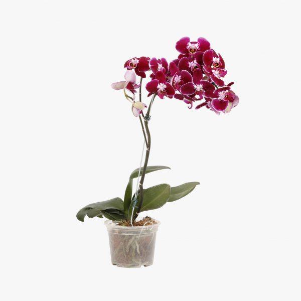 phalaenopsis_p15_005